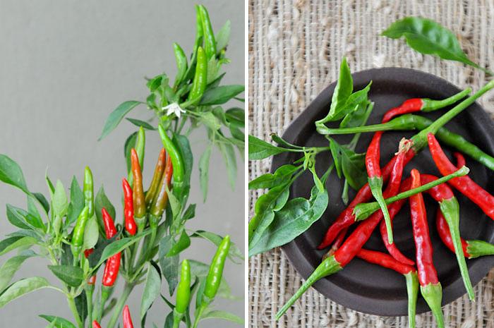 My Thai Herb Garden Summer 2013